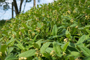 Bank of comfrey plants May 15