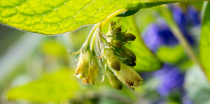 close up comfrey flower